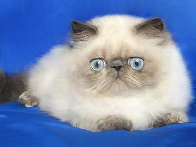 Персидские коты породы