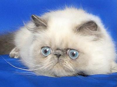 Персидская порода кошек окрас блюю-пойнт
