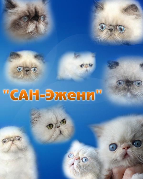 Питомник персидских и экзотических кошек системы PCA
